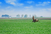Roebuck jumping over green wheat field — Stock Photo
