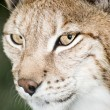 Royalty-Free Stock Photo: Lynx