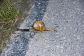 Snail cross the street — Stock Photo