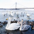 Stock Photo: Swans and ducks in the river