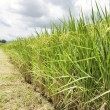 Mature Rice, Rice field with footpath — Stock Photo #3980718