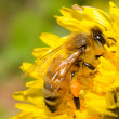 Honey bee working hard on dandelion flower — Stock Photo