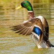 Wild duck in flying action — Stock Photo #3980914