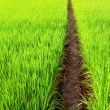 Path in Green field — Stock Photo #3982246
