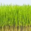 Growing fresh grass — Stock Photo