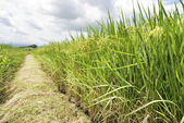 Mature Rice, Rice field with footpath — Stock Photo