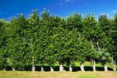 Row of trees green wall — Stock Photo