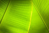Back light overlapping banana leaves — Stock Photo