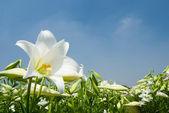 Dziki lilia biała pod światło słoneczne — Zdjęcie stockowe