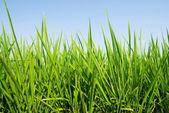 Frisches gras-land unter blauen himmel — Stockfoto