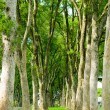 Rows of trees and path in green grass — Stock Photo