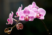 Beautiful moth orchid flowers with back sunlight — Stock Photo