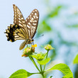 Colorful swallowtail butterfly flying and feeding on flowers — Stock Photo