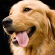 Golden Retriever stick its tongue out - 图库照片