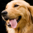 Golden Retriever stick its tongue out - Стоковая фотография
