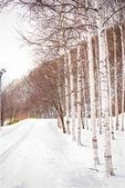 道および雪によって覆われているポプラの木 — ストック写真