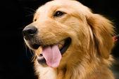 Golden retriever onun dil uzat — Stok fotoğraf