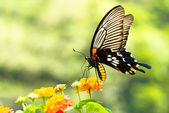 Brilliant swallowtail butterfly feeding on flowers — Stock Photo