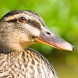 Face of female wild duck. — Stock Photo