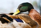 Wild duck dress its feathers — Stock Photo