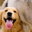 Royalty-Free Stock Photo: Golden Retriever play with Husky dog