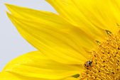 Red lady bug on blossoming sunflower — Stock Photo