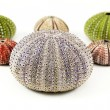 Colorful sea urchins - Stock Photo