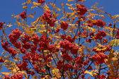 Rowan tree. — Stock Photo