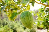 Etrog (citron) on a branch — Stock Photo