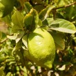 Stock Photo: Etrog (citron) on branch