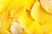 Yellow elm leaves background — Stock Photo