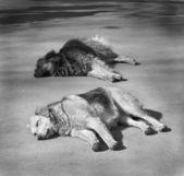 Homeless dogs — Stock Photo