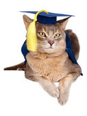 Cat in graduation cap and gown — Stock Photo