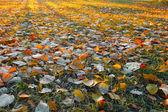 Sunny koberec podzimní listí. — Stock fotografie
