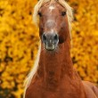 Portrait of chestnut horse in autumn — Stock Photo