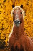Portrait of chestnut horse in autumn — Stock Photo