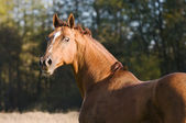 Don horse portrait in autumn — Stock Photo