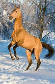 Golden akhal-teke horse portrait — Stock Photo