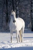 White horse stallion portrait — 图库照片