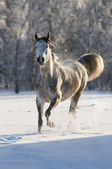 White horse runs trot — Stock Photo