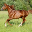 Royalty-Free Stock Photo: Chestnut horse runs gallop