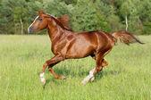 Kasztanowe koń biegnie galop — Zdjęcie stockowe