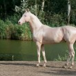Stock Photo: Cremello akhal-teke horse stallion portrait