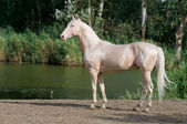 Cremello akhal-teke horse stallion portrait — Stock Photo