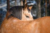 Gold Lusitano horse portrait in winter — Stock Photo