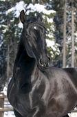 Siyah kladruber at portresi — Stok fotoğraf