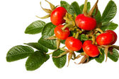 Branch of a dogrose with berries — Stock Photo