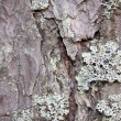 Lichen on a pine bark — Stock Photo