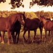 Horses on the field — Stock Photo