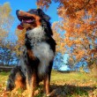 A happy Bernese mountain dog outdoors - Foto Stock